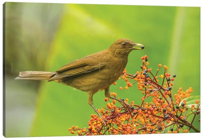 Costa Rica, Arenal. Clay-Colored Thrush Feeding. Canvas Art Print