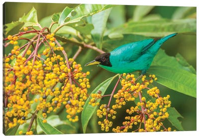 Costa Rica, Arenal. Green Honeycreeper And Berries. Canvas Art Print