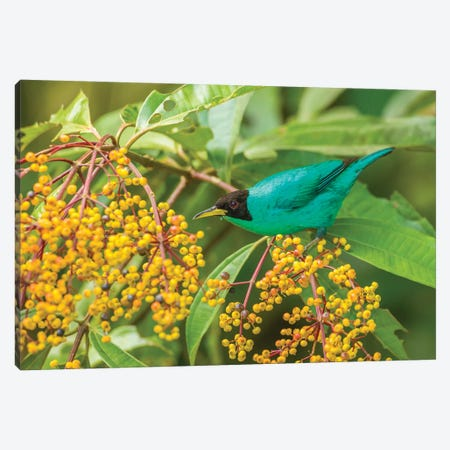Costa Rica, Arenal. Green Honeycreeper And Berries. Canvas Print #JYG824} by Jaynes Gallery Canvas Wall Art
