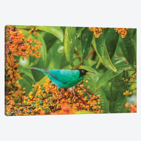 Costa Rica, Arenal. Green Honeycreeper And Berries. Canvas Print #JYG825} by Jaynes Gallery Canvas Wall Art