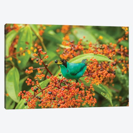 Costa Rica, Arenal. Green Honeycreeper Feeding. Canvas Print #JYG826} by Jaynes Gallery Canvas Artwork