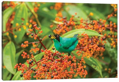 Costa Rica, Arenal. Green Honeycreeper Feeding. Canvas Art Print