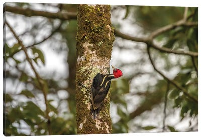 Costa Rica, Arenal. Pale-Billed Woodpecker On Tree. Canvas Art Print