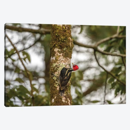 Costa Rica, Arenal. Pale-Billed Woodpecker On Tree. Canvas Print #JYG827} by Jaynes Gallery Canvas Art