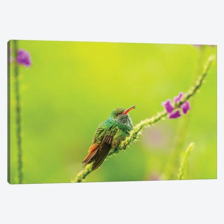 Costa Rica, Arenal. Rufous-Tailed Hummingbird And Vervain Flower. Canvas Print #JYG828} by Jaynes Gallery Canvas Print