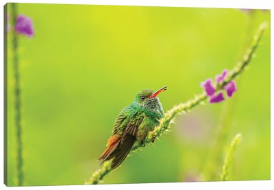 Costa Rica, Arenal. Rufous-Tailed Hummingbird And Vervain Flower. Canvas Art Print