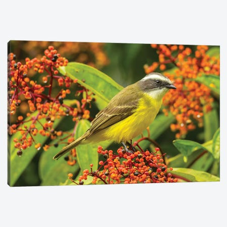 Costa Rica, Arenal. Social Flycatcher Close-Up. Canvas Print #JYG830} by Jaynes Gallery Canvas Art