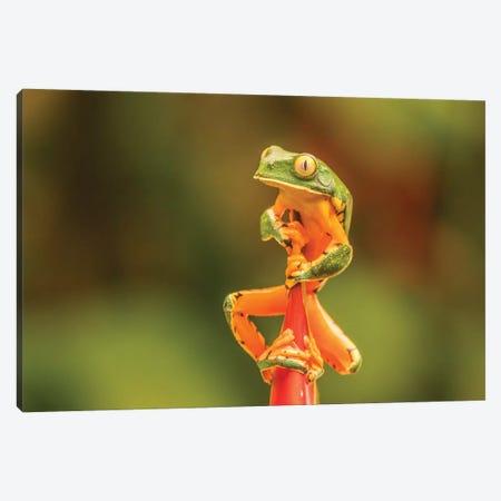 Costa Rica, La Paz River Valley, La Paz Waterfall Garden. Captive Splendid Leaf Frog On Heliconia. Canvas Print #JYG833} by Jaynes Gallery Canvas Wall Art