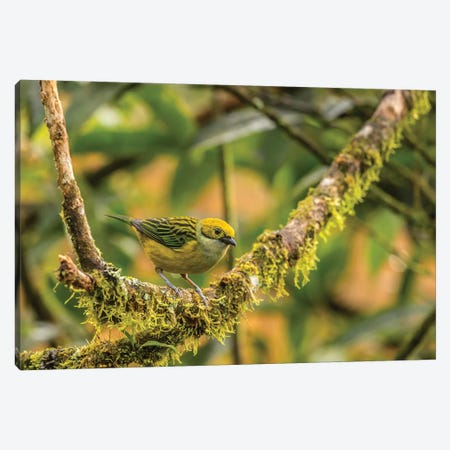 Costa Rica, La Paz River Valley. Captive Golden-Hooded Tanager In La Paz Waterfall Garden. Canvas Print #JYG836} by Jaynes Gallery Canvas Art Print