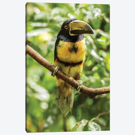 Costa Rica, La Selva Biological Research Station. Collared Aricari On Limb. Canvas Print #JYG842} by Jaynes Gallery Canvas Print