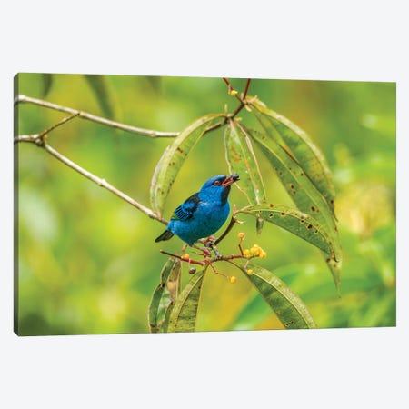 Costa Rica, La Selva Biological Station. Blue Dacnis Bird Feeding. Canvas Print #JYG846} by Jaynes Gallery Canvas Art