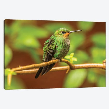 Costa Rica, Monte Verde Cloud Forest Reserve. Female Purple-Throated Mountain Gem Close-Up. Canvas Print #JYG856} by Jaynes Gallery Canvas Art Print