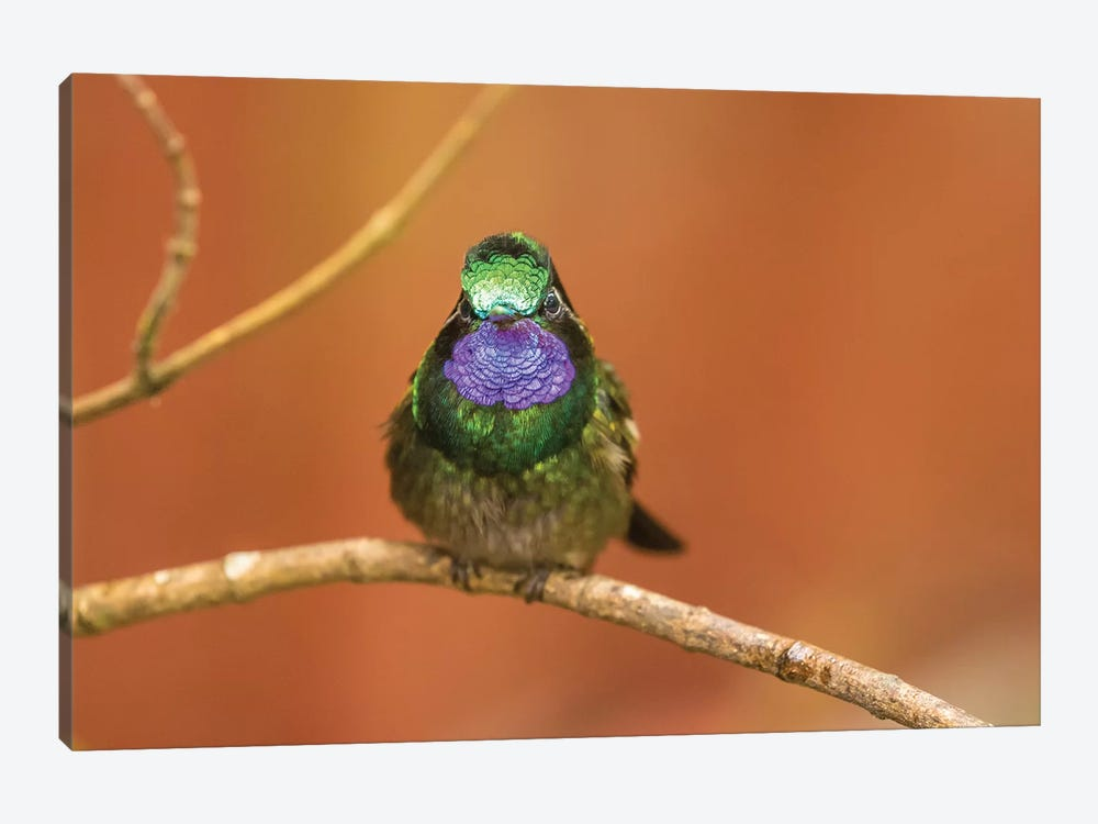 Costa Rica, Monte Verde Cloud Forest Reserve. Male Purple-Throated Mountain Gem Close-Up. by Jaynes Gallery 1-piece Canvas Art