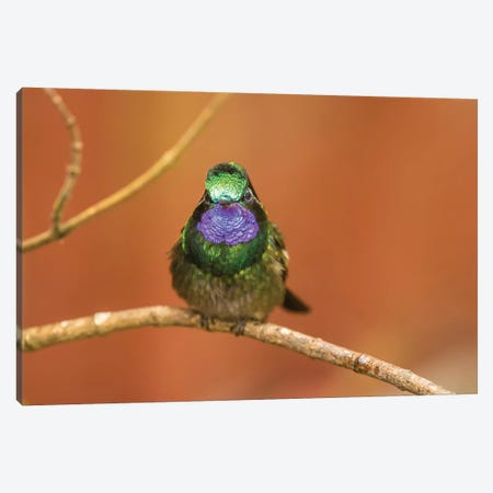 Costa Rica, Monte Verde Cloud Forest Reserve. Male Purple-Throated Mountain Gem Close-Up. Canvas Print #JYG858} by Jaynes Gallery Canvas Artwork