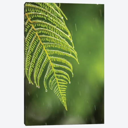 Costa Rica, Sarapique River Valley. Fern In Rain. Canvas Print #JYG865} by Jaynes Gallery Canvas Wall Art