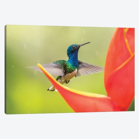 Costa Rica, Sarapique River Valley. Male White-Necked Jacobin Feeding On Heliconia. Canvas Print #JYG866} by Jaynes Gallery Canvas Wall Art