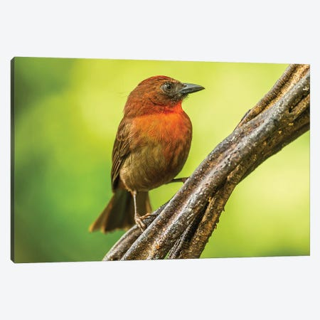 Costa Rica, Sarapique River Valley. Red-Throated Ant Tanager Bird On Tree. Canvas Print #JYG870} by Jaynes Gallery Canvas Artwork