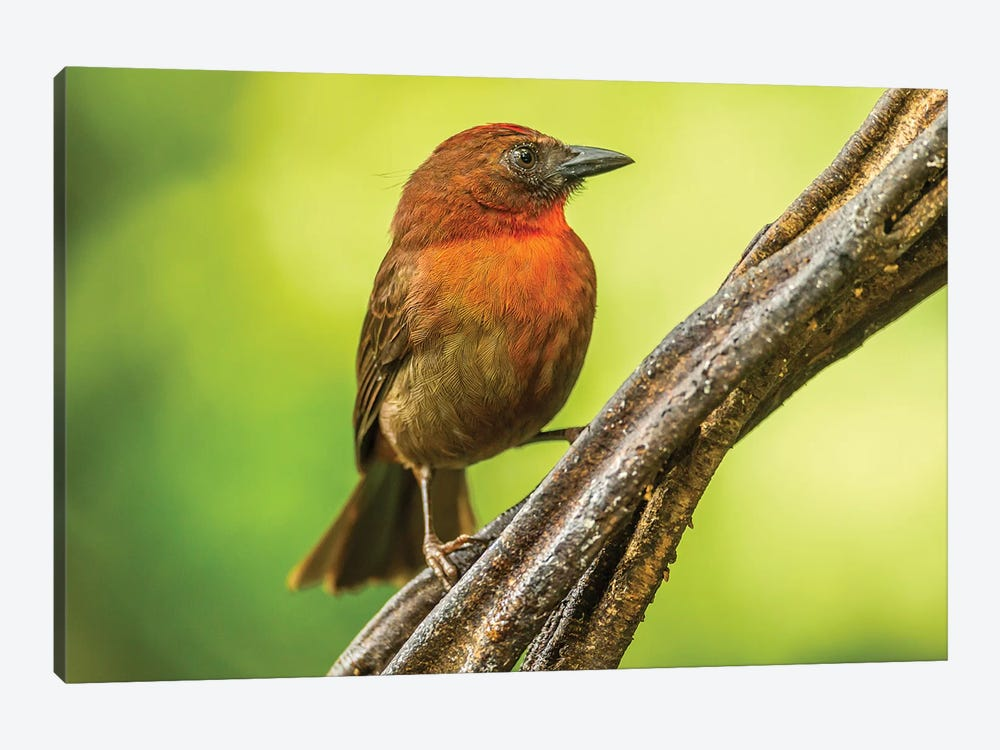 Costa Rica, Sarapique River Valley. Red-Throated Ant Tanager Bird On Tree. by Jaynes Gallery 1-piece Canvas Wall Art