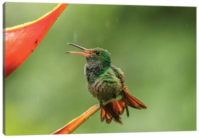 Costa Rica, Sarapique River Valley. Rufous-Tailed Hummingbird On Heliconia Plant. Canvas Art Print