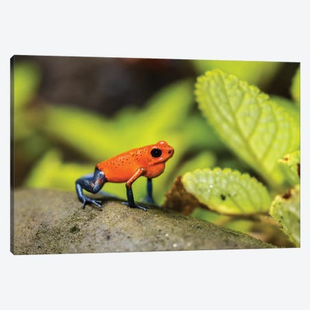 Costa Rica, Sarapique River Valley. Strawberry Poison Dart Frog On Plant. Canvas Print #JYG874} by Jaynes Gallery Canvas Print