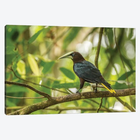 Costa Rica, Sarapiqui River Valley. Chestnut-Headed Oropendola Bird On Limb. Canvas Print #JYG876} by Jaynes Gallery Art Print
