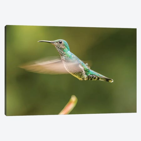 Costa Rica, Sarapiqui River Valley. Female White-Necked Jacobin Flying. Canvas Print #JYG877} by Jaynes Gallery Canvas Art Print