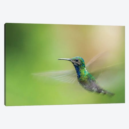 Costa Rica, Sarapiqui River Valley. Male White-Necked Jacobin Flying. Canvas Print #JYG878} by Jaynes Gallery Canvas Art