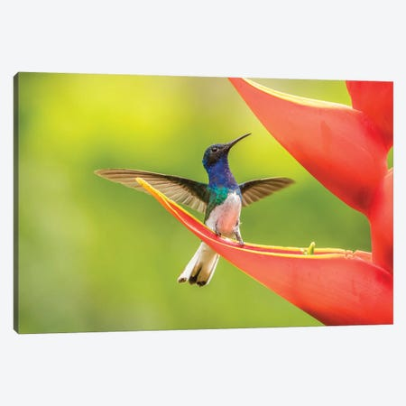 Costa Rica, Sarapiqui River Valley. Male White-Necked Jacobin On Heliconia. Canvas Print #JYG879} by Jaynes Gallery Canvas Artwork