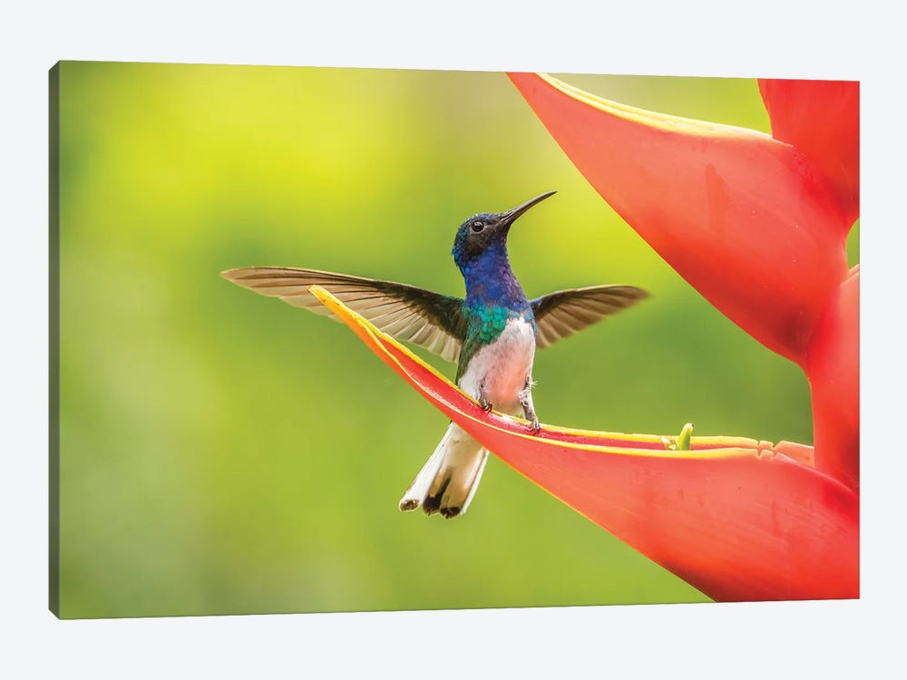 Costa Rica, Sarapiqui River Valley. Male White-Necked Jacobin On Heliconia. by Jaynes Gallery 1-piece Canvas Print