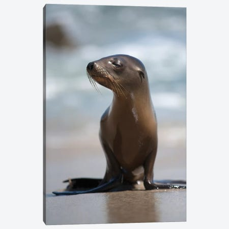 USA, California, La Jolla. Baby sea lion on beach. Canvas Print #JYG87} by Jaynes Gallery Art Print