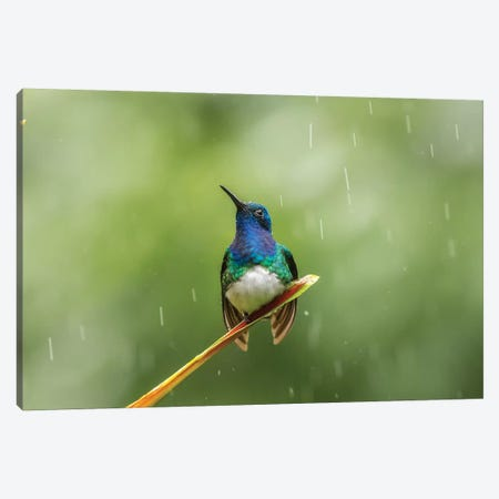 Costa Rica, Sarapiqui River Valley. Male White-Necked Jacobin On Leaf In Rain. Canvas Print #JYG881} by Jaynes Gallery Canvas Art Print