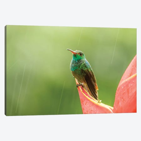 Costa Rica, Sarapiqui River Valley. Rufous-Tailed Hummingbird On Heliconia Plant. Canvas Print #JYG888} by Jaynes Gallery Art Print