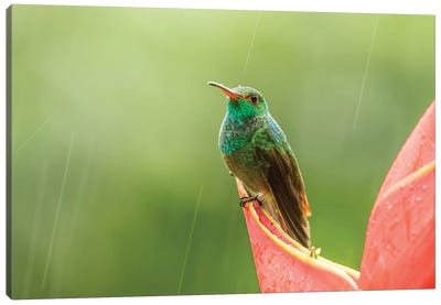 Costa Rica, Sarapiqui River Valley. Rufous-Tailed Hummingbird On Heliconia Plant. Canvas Art Print