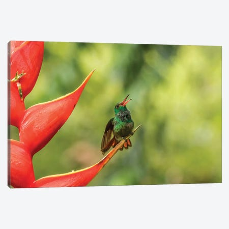 Costa Rica, Sarapiqui River Valley. Rufous-Tailed Hummingbird On Heliconia Plant. Canvas Print #JYG889} by Jaynes Gallery Canvas Art Print