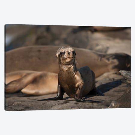USA, California, La Jolla. Baby sea lion on sand. Canvas Print #JYG88} by Jaynes Gallery Canvas Wall Art