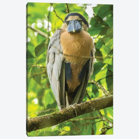 Costa Rica. Boat-Billed Heron Close-Up. Canvas Print #JYG890} by Jaynes Gallery Canvas Wall Art