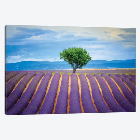 Europe, France, Provence, Valensole Plateau. Field Of Lavender And Tree. Canvas Print #JYG912} by Jaynes Gallery Canvas Art Print