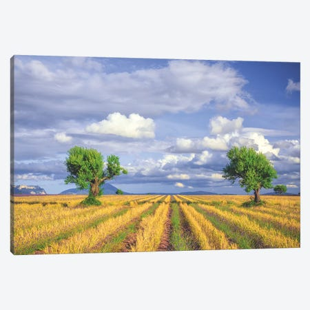 Europe, France, Provence, Valensole Plateau. Young Lavender And Wheat Crops Surround Trees. Canvas Print #JYG914} by Jaynes Gallery Canvas Art