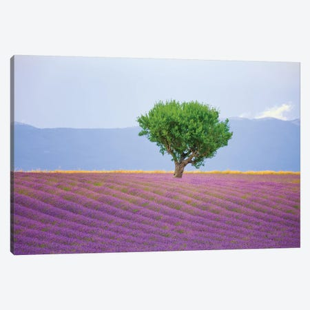 France, Provence, Valensole Plateau. Field Of Lavender And Tree. Canvas Print #JYG940} by Jaynes Gallery Canvas Artwork