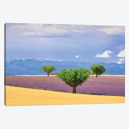 France, Provence, Valensole Plateau. Field Of Lavender And Trees. Canvas Print #JYG942} by Jaynes Gallery Canvas Artwork