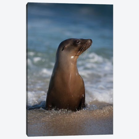USA, California, La Jolla. Young sea lion in beach water. Canvas Print #JYG97} by Jaynes Gallery Canvas Art