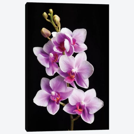 USA, California, Los Osos of orchids. Canvas Print #JYG98} by Jaynes Gallery Canvas Print