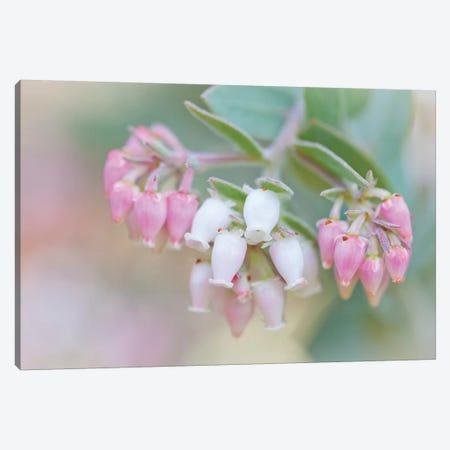 Manzanita Flowers, Genus Arctostaphylos, Mount Diablo State Park Canvas Print #JYG991} by Jaynes Gallery Art Print