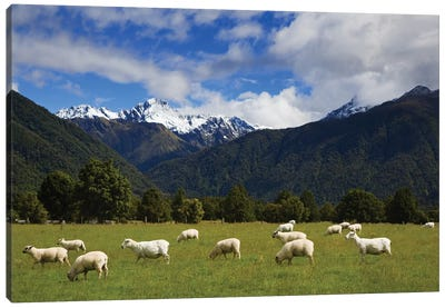 New Zealand, South Island. Sheep Grazing In Pasture. Canvas Art Print