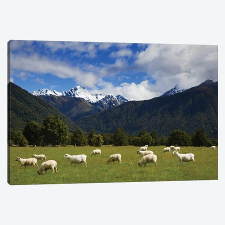 New Zealand, South Island. Sheep Grazing In Pasture. Canvas Print #JYG993} by Jaynes Gallery Canvas Print