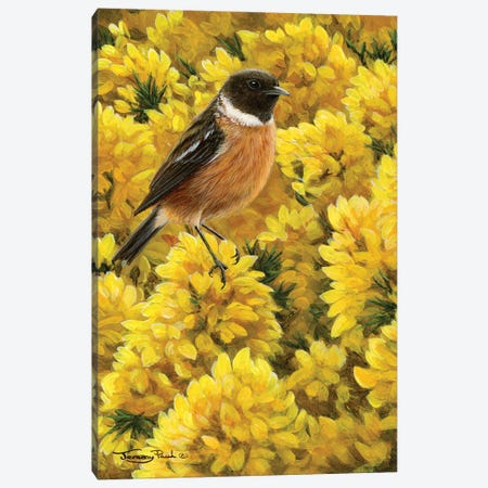 Stonechat And Gorse Canvas Print #JYP7} by Jeremy Paul Canvas Art