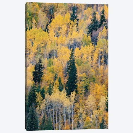 Canada, British Columbia. Autumn aspen and pines, Wells-Gray Provincial Park. Canvas Print #JZI14} by Judith Zimmerman Canvas Artwork