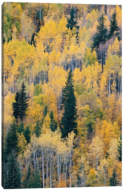 Canada, British Columbia. Autumn aspen and pines, Wells-Gray Provincial Park. Canvas Art Print