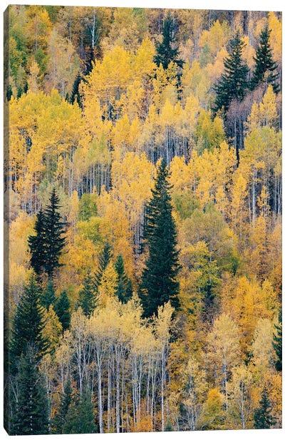 Canada, British Columbia. Autumn aspen and pines, Wells-Gray Provincial Park. Canvas Art Print