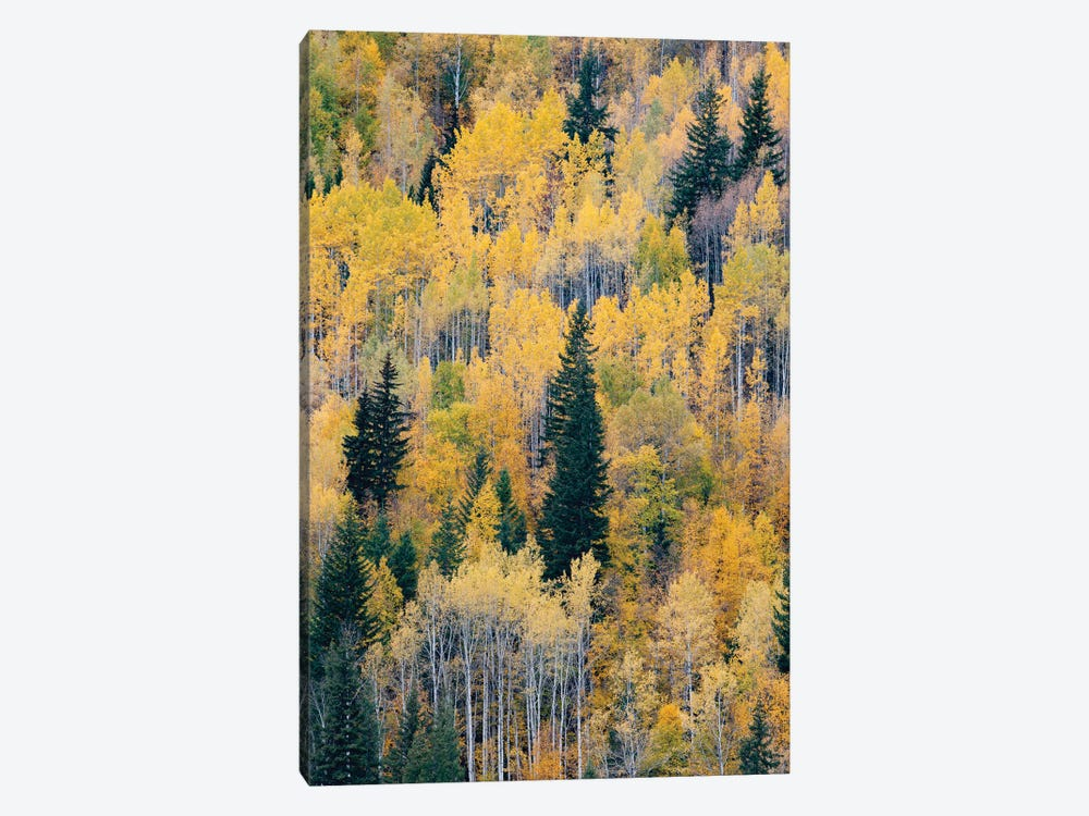 Canada, British Columbia. Autumn aspen and pines, Wells-Gray Provincial Park. by Judith Zimmerman 1-piece Canvas Art Print